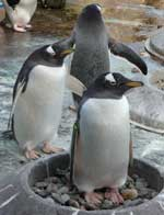 Gentoo Penguins at Edinburgh Zoo, photo by Susan Robey